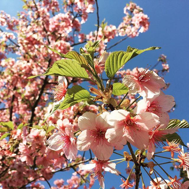 【ぐもにん2317】あるがままが美しい。今日も「笑顔の選択」と。#goodmorning #sakura #beautifulsky #pink