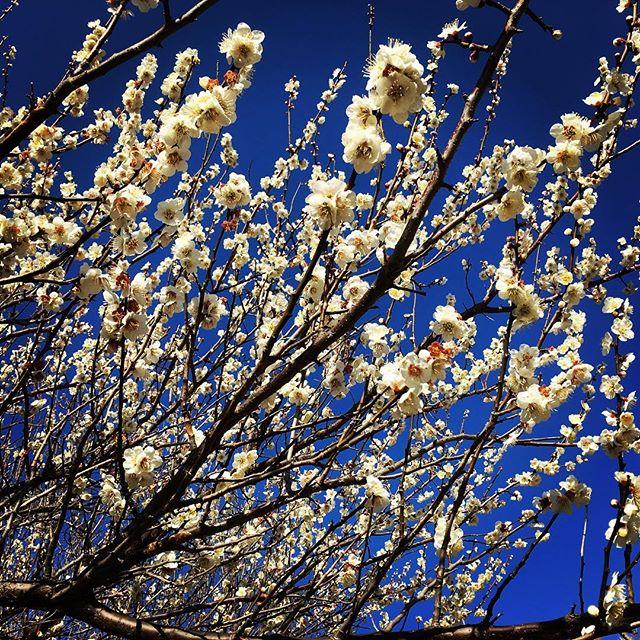 【ぐもにん2320】心を充たす。今、いる場所で。今日も「笑顔の選択」と。#goodmorning #plum #bluesky #flowers