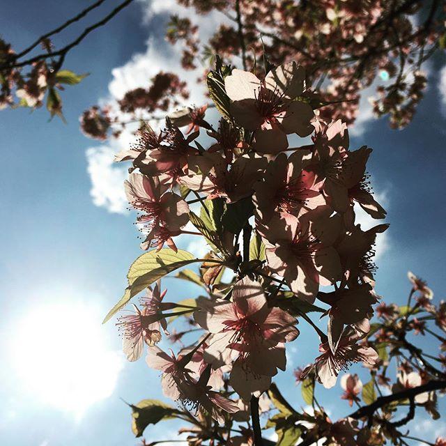 【ぐもにん2319】何かにイラつく時は自分にイラついている時。丁寧に自分と向き合い見つめてみる。今日も「笑顔の選択」と。#goodmorning #sakura #pink #sunlight