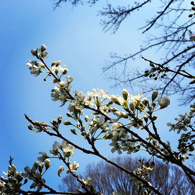 【ぐもにん2352】知らないもので世の中は満ちている。人も今も過去も未来も。だから豊かで楽しくなる。今日も「笑顔の選択」と。#goodmorning #beautifulsky #sakura #cherryblossom #flower #trees