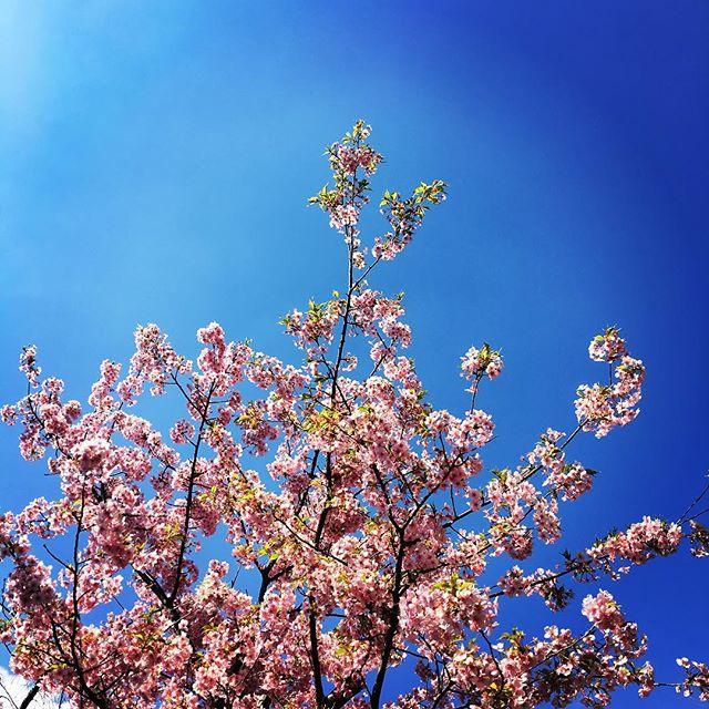 【ぐもにん2322】いつでも後押しされていつでも祝福されている。今日も「笑顔の選択」と。#goodmorning #sakura #beautifulsky #bluesky #pink