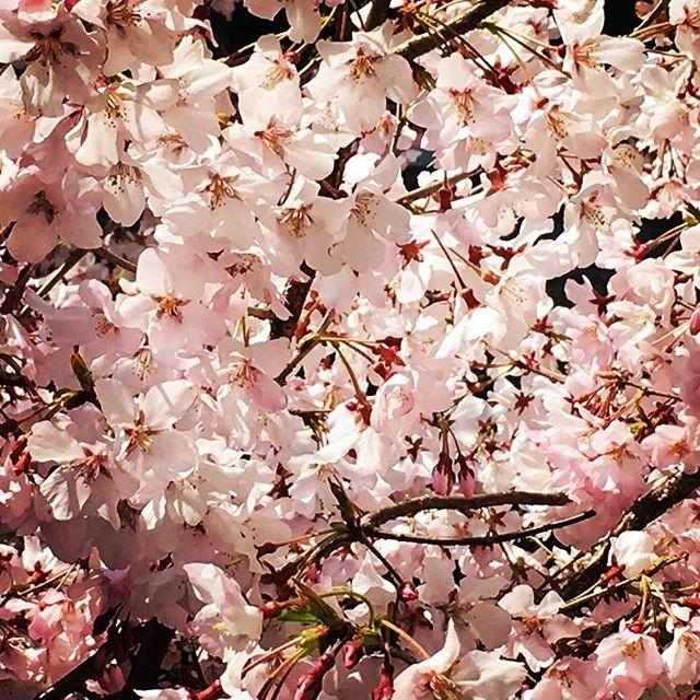 【ぐもにん2351】今は自分が創り出して投影している。今日も「笑顔の選択」と。#goodmorning #sakura #cherryblossom #flower #trees #新年度