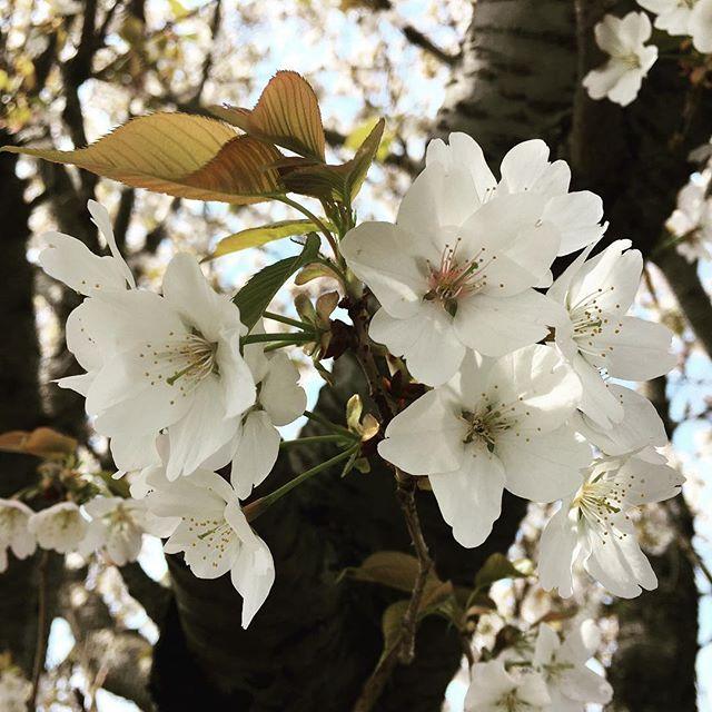 【ぐもにん2345】休息も大切な時間。今日も「笑顔の選択」と。#goodmorning #flowers #sakura #cherryblossom #spring