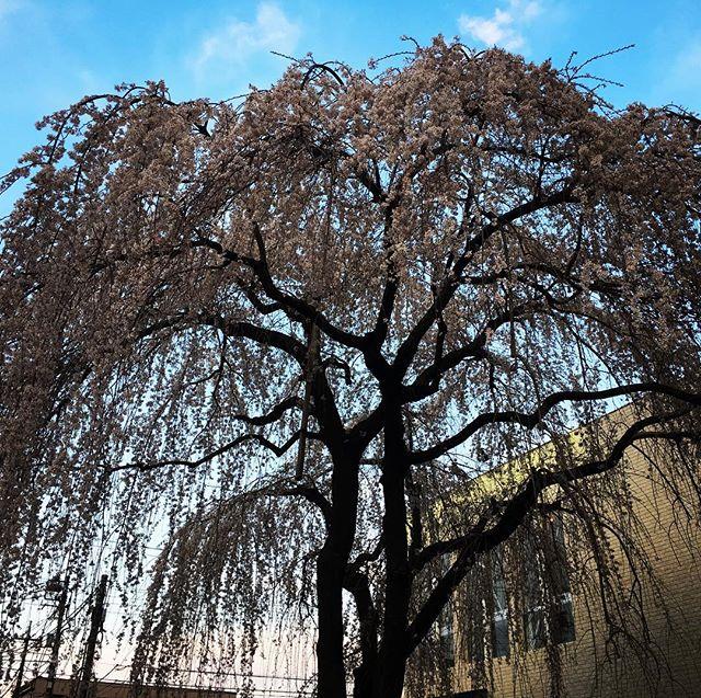 【ぐもにん2353】あたりまえはどこにもない。今日も「笑顔の選択」と。#goodmorning #sakura #cherryblossom #flower #trees