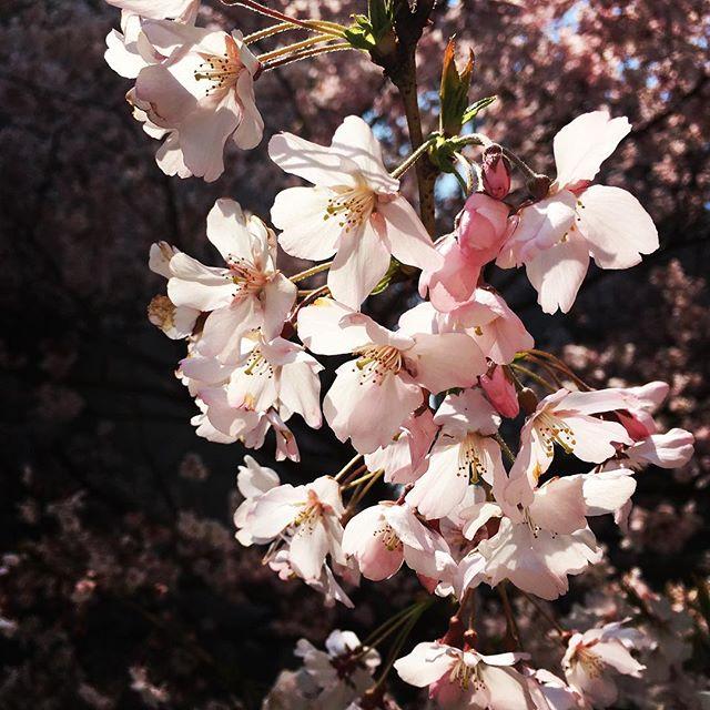 【ぐもにん2350】何も考えず静かに内側を見つめる時間を作る。今日も「笑顔の選択」と。#goodmorning #sakura #cherryblossom #flower #trees