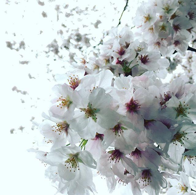 【ぐもにん2360】知らない道を歩いてみると嬉しい発見をすることがある。生き方も同じこと。今日も「笑顔の選択」と。#goodmorning #flower #sakura #cherryblossom