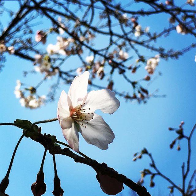 【ぐもにん2359】身体も心ものびのび伸ばす。今日も「笑顔の選択」と。#goodmorning #flower #sakura #sky #cherryblossom