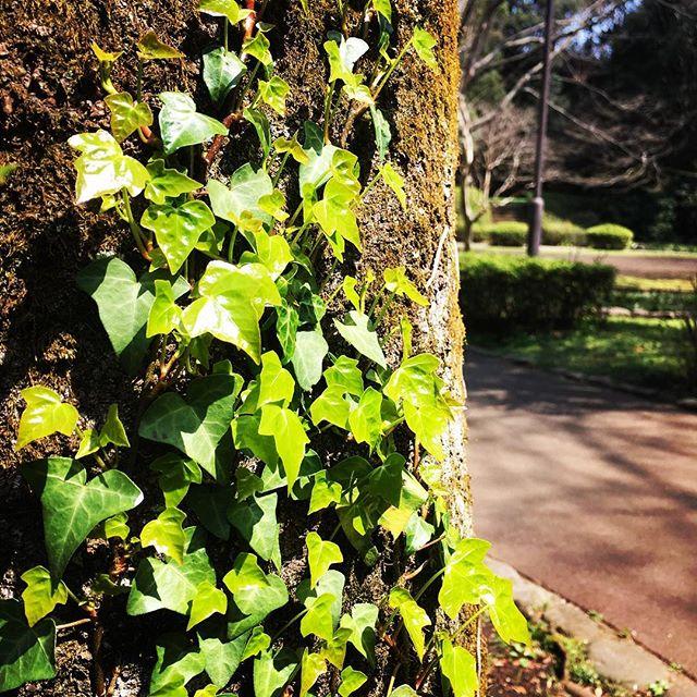【ぐもにん2355】選ばれている?選びあってる。なにもかも。今日も「笑顔の選択」と。#goodmorning #tree #green #ivy