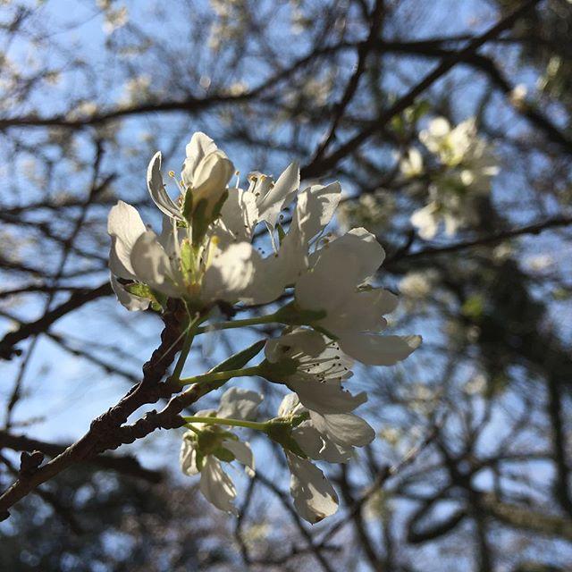 【ぐもにん2357】全ては最適なタイミング。今日も「笑顔の選択」と。#goodmorning #flower #sakura #cherryblossom #tree