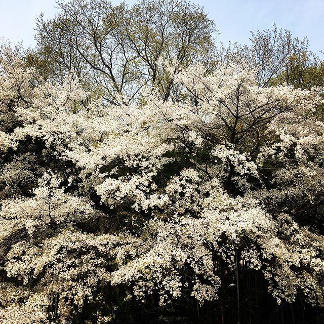 【ぐもにん2362】複数の視点を意識する。今日も「笑顔の選択」と。#goodmorning #sakura #cherryblossom #spring #trees