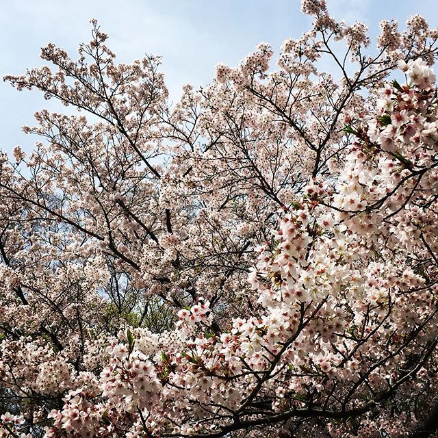 【ぐもにん2361】当たり前を当たり前に。今日も「笑顔の選択」と。#goodmorning #flower #sakura #cherryblossom #spring