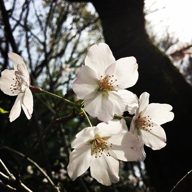 【ぐもにん2364】毎日が新しい今日。今日も「笑顔の選択」と。#goodmorning #flower #sakura #cherryblossom #spring