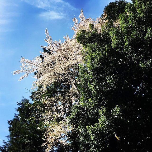 【ぐもにん2363】持っているものを活かす。今日も「笑顔の選択」と。#goodmorning #tree #sky #flower #sakura #cherryblossom #spring