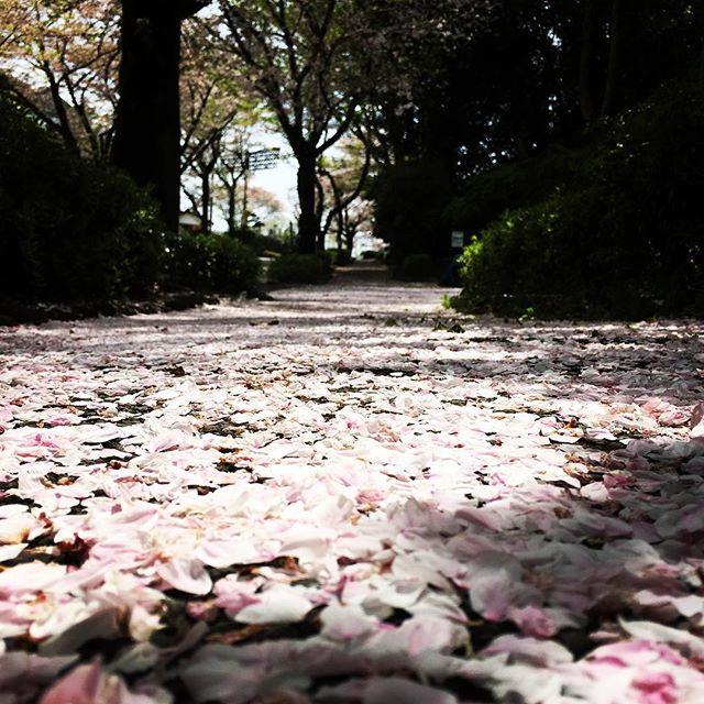 【ぐもにん2366】自分のあたりまえは誰かの特別。今日も「笑顔の選択」と。#goodmorning #flower #sakura #cherryblossom #spring #pink #road