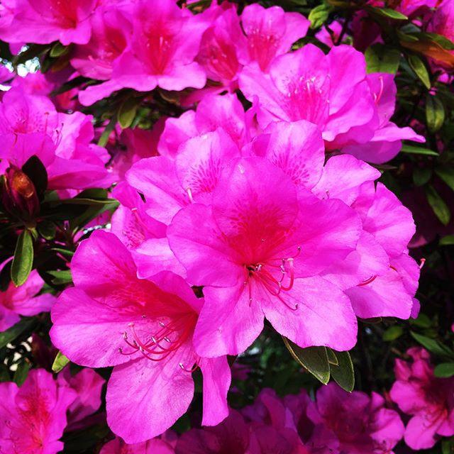 【ぐもにん2393】楽しむために努力する。今日も「笑顔の選択」と。#goodmorning #pink #flowers