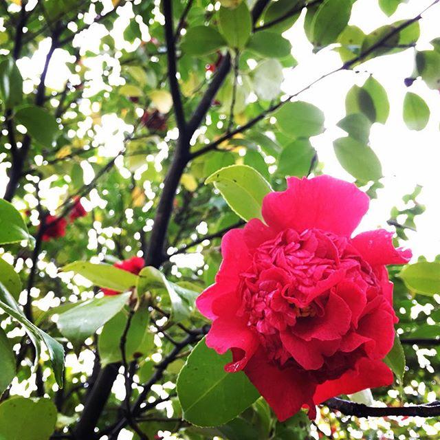 【ぐもにん2374】心の奥から湧き上がる感情を知覚できる感度を磨く。今日も「笑顔の選択」と。#goodmorning #flowers #redflowers #red #beautifulflowers