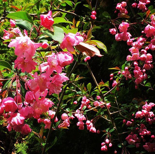 【ぐもにん2377】生きている体験をとことん楽しむ。今日も「笑顔の選択」と。#goodmorning #flowers #pink #spring