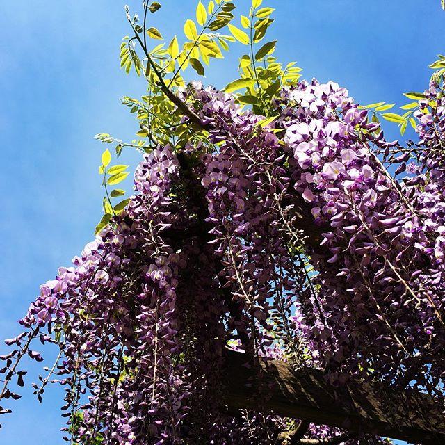 【ぐもにん2384】今を満たす。今日も「笑顔の選択」と。#goodmorning #bluesky #wisteria #violet