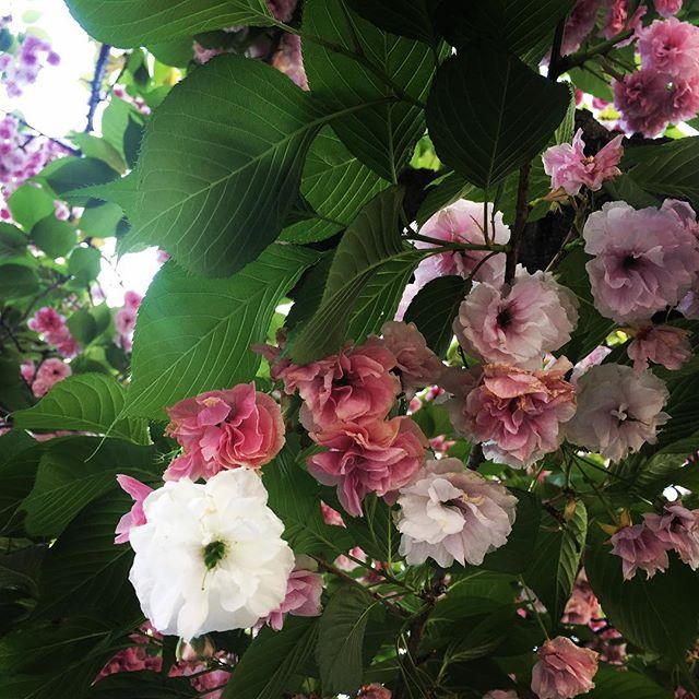 【ぐもにん2382】自分の色、が自分に似合って美しい。今日も「笑顔の選択」と。#goodmorning #flower #cherryblossom #sakura #pink #white