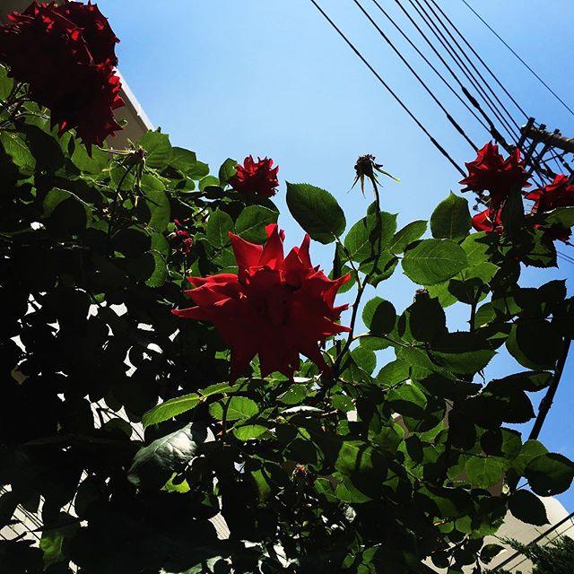 【ぐもにん2404】何事も自分の道。うまくいく。今日も「笑顔の選択」と。#goodmorning #flower #rose #red #sky