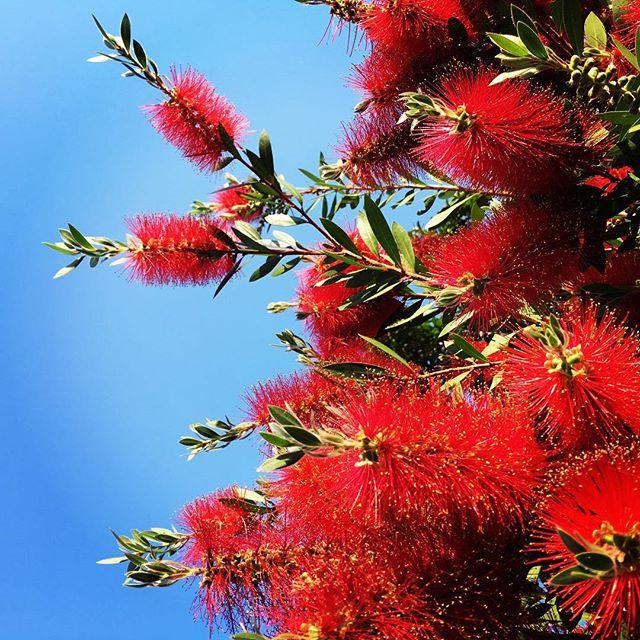 【ぐもにん2401】何をしてもいい時間を意識して作る。今日も「笑顔の選択」と。#goodmorning #red #flower #bottlebrush #blue #sky