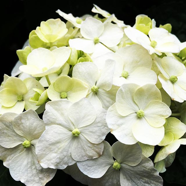 【ぐもにん2414】純度の高い自分でOK!今日も「笑顔の選択」と。#goodmorning #flower #white #hydrangea