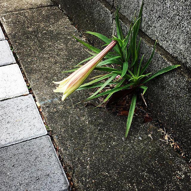 【ぐもにん2413】目に入ったものがヒントをくれる。今日も「笑顔の選択」と。#goodmorning #flower #green #lily