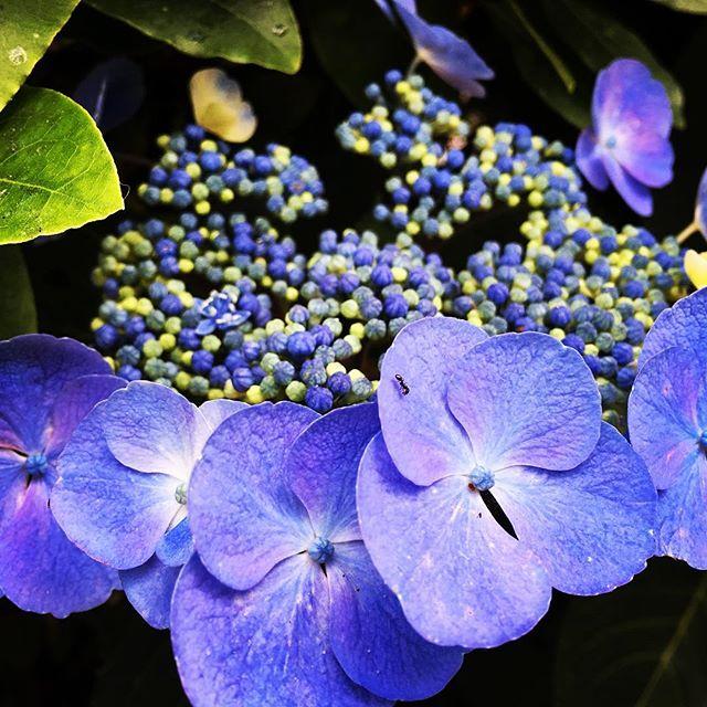 【ぐもにん2423】包みこまれるような自然の一部。包み込む自然の一部、自分たちも。今日も「笑顔の選択」と。#goodmorning #purple #flowers #nature #violet #hydrangea