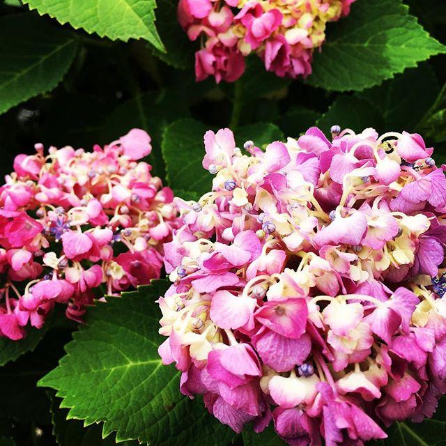 【ぐもにん2424】今を納得して楽しむことから。今日も「笑顔の選択」と。#goodmorning #flowers #hydrangea #pink