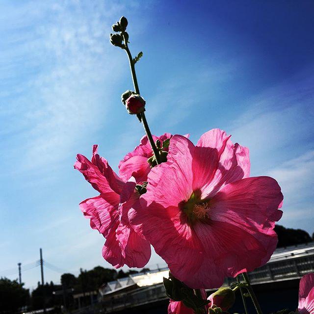 【ぐもにん2422】世界に求められて生まれてきた。今日も「笑顔の選択」と。#goodmorning #flower #beautiful #pink #pinkflowers #sky #bluesky