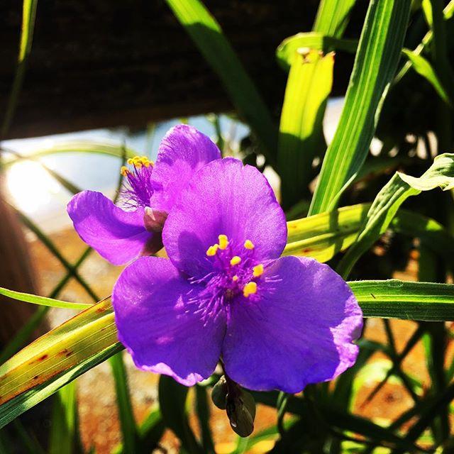 【ぐもにん2427】自分の制限、とっぱらっちゃえ!今日も「笑顔の選択」と。#goodmorning #flower #violet #sunlight
