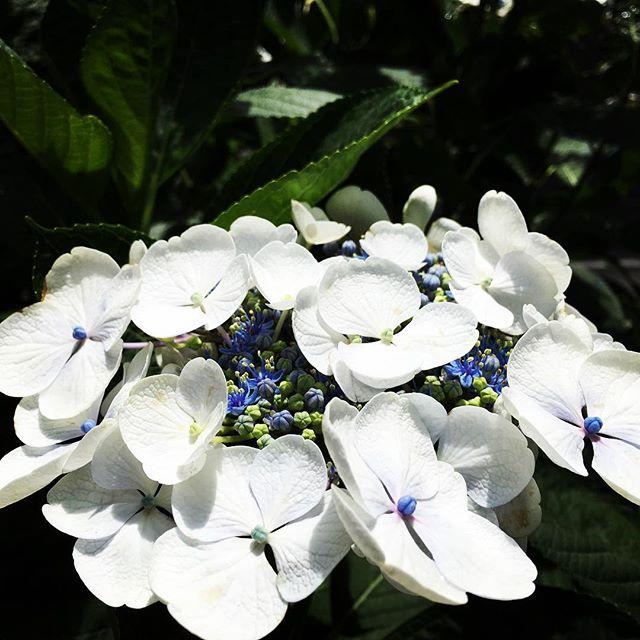 【ぐもにん2432】感覚は私たちの持ってる最高の叡智。今日も「笑顔の選択」と。#goodmorning #beautiful #hydrangea #white #flowers