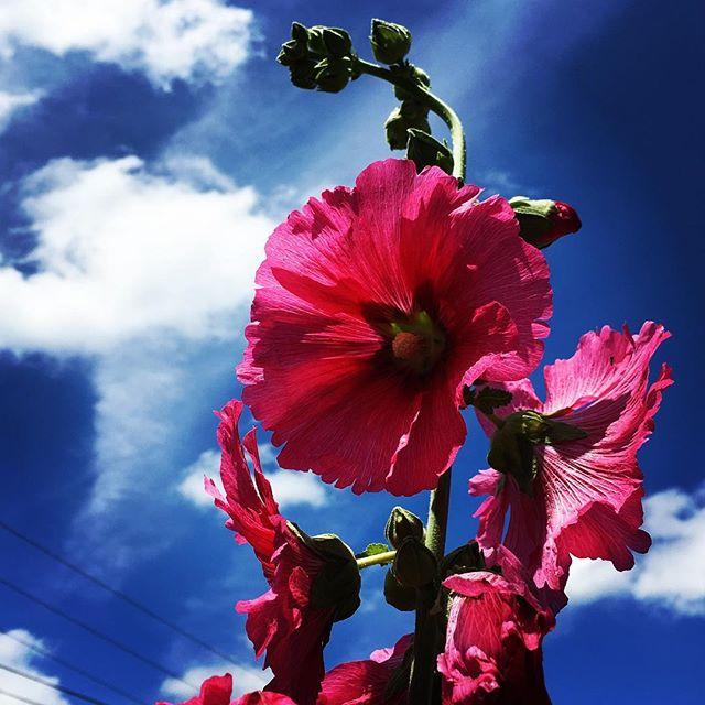 【ぐもにん2446】ここにいることで全てにOKが出されている。今日も「笑顔の選択」と。#goodmorning #flowers #sky #beautifulsky #beautiful #pink #bluesky