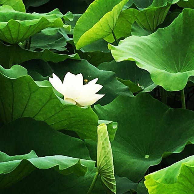 【ぐもにん2466】心静かに決めて進む。今日も「笑顔の選択」と。#goodmorning #flower #lotus #green