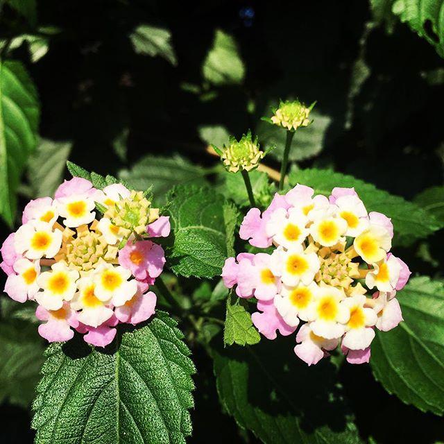 【ぐもにん2485】心地よくリスペクトしあえる場所にいる。今日も「笑顔の選択」と。#goodmorning #flowers #beautifulflowers #おはよう #pink #yellow #花