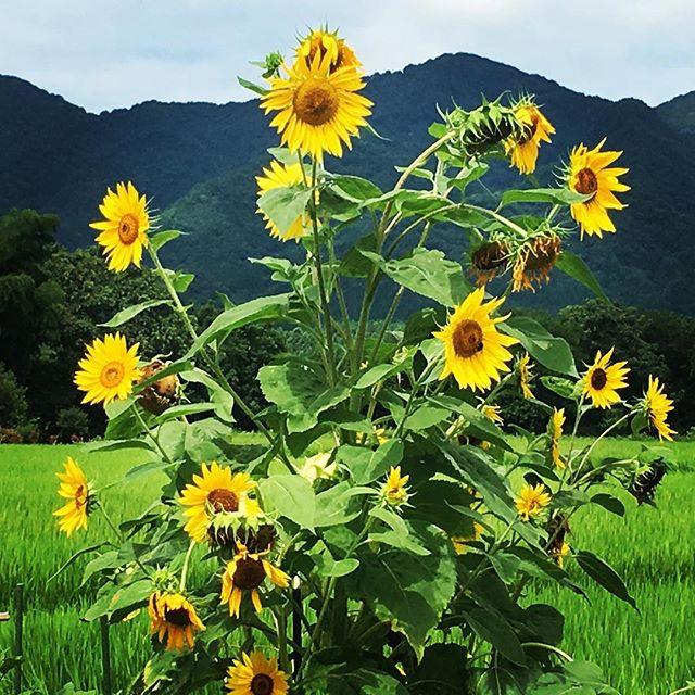 【ぐもにん2489】大きな視点で見て、小さな視点で見て、感じて考える。今日も「笑顔の選択」と。#goodmorning #sunflower #yellow #green #naturephotography #おはようございます #ひまわり #向日葵