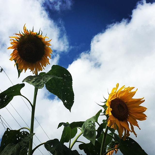 【ぐもにん2488】目の前に広がる景色は自分自身。今日も「笑顔の選択」と。#goodmorning #flowers #beautifulflowers #beautiful #sky #sunflower #summer #おはよう #ひまわり #向日葵