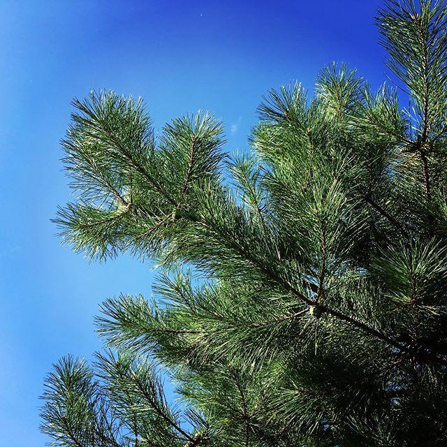 【ぐもにん2524】変わり続ける。還り続ける。自然の如く。今日も「笑顔の選択」と。#goodmorning #bluesky #green #blue #sky #pinetree #おはよう