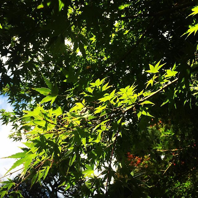 【ぐもにん2566】手綱は自分の手に。今日も「笑顔の選択」と。#goodmorning #leaf #green #maple #sky