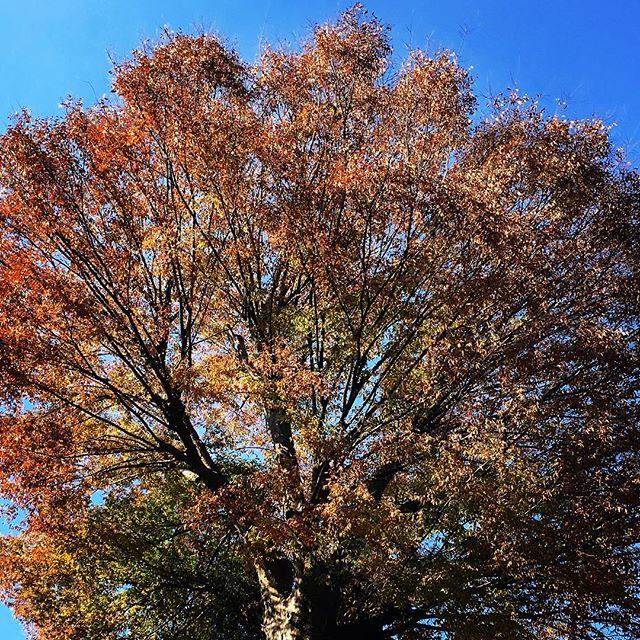 【ぐもにん2602】思ったことが道しるべ。続けられることが道。今日も「笑顔の選択」と。#goodmorning #autumnleaves #bluesky #blue #sky #yellow #red #orange #おはよう