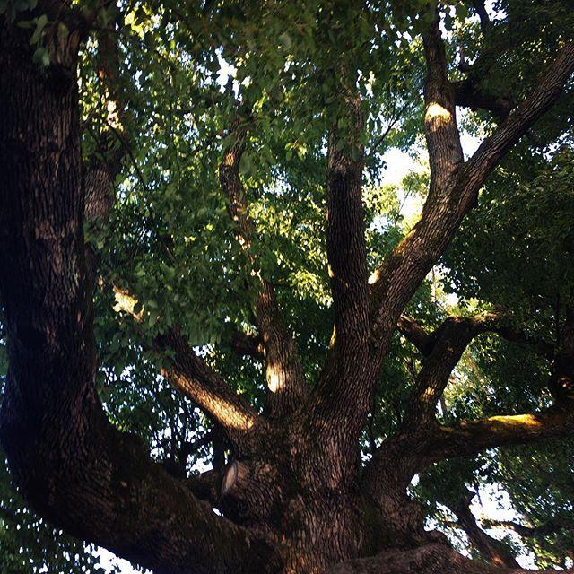 【ぐもにん2059】つながりひろがり大きく深く。今日も「笑顔の選択」と。#goodmorning #trees #branches #leaves #green #photography #photo #iphonephotography #おはよう