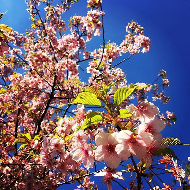【ぐもにん2683】今あるものを活かしていると必要なことがやってくる。今日も「笑顔の選択」と。#goodmorning #bluesky #blue #sky #cherryblossom #pink #photography #photo #iphonephotography #おはよう