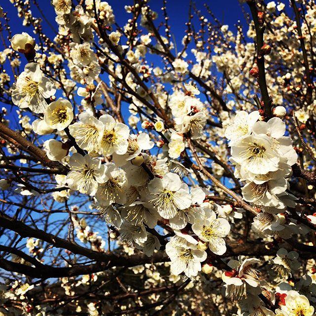 【ぐもにん2689】一人一人が可能性の木。今日も「笑顔の選択」と。#goodmorning #plumblossom #bluesky #blue #sky #spring #photography #photo #iphonephotography #おはよう
