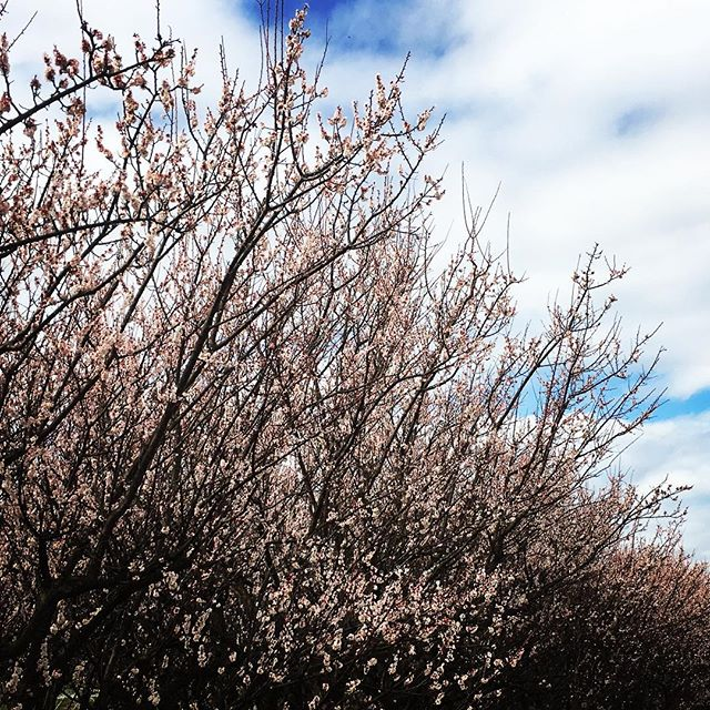 【ぐもにん2695】今、肉体のある奇跡に感謝し生を味わい尽くす。今日も「笑顔の選択」と。#goodmorning #plumblossom #plum #beautifulsky #beautiful #sky #flowers #photography #photo #iphonephotography #おはよう #梅