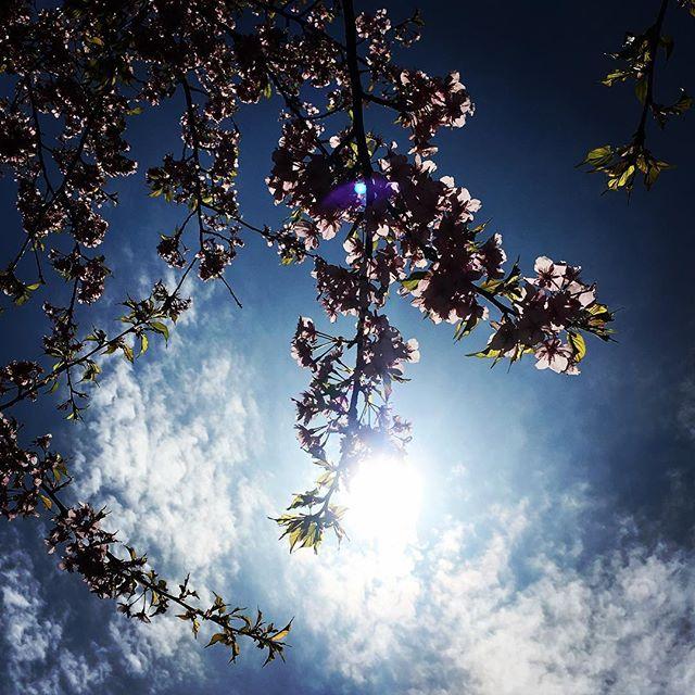 【ぐもにん2704】自然の流れで醸成させる味わい深さと豊かさと。想いも生き方も。今日も「笑顔の選択」と。#goodmorning #bluesky #blue #sky #cherryblossom #sunshine #photography #photo #iphonephotography #おはよう