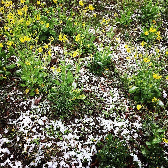 【ぐもにん2706】朗らかに軽やかに想いに蓋をしないでのびのびと。今日も「笑顔の選択」と。#goodmorning #flowers #snow #spring #yellow #photography #photo #iphonephotography #おはよう