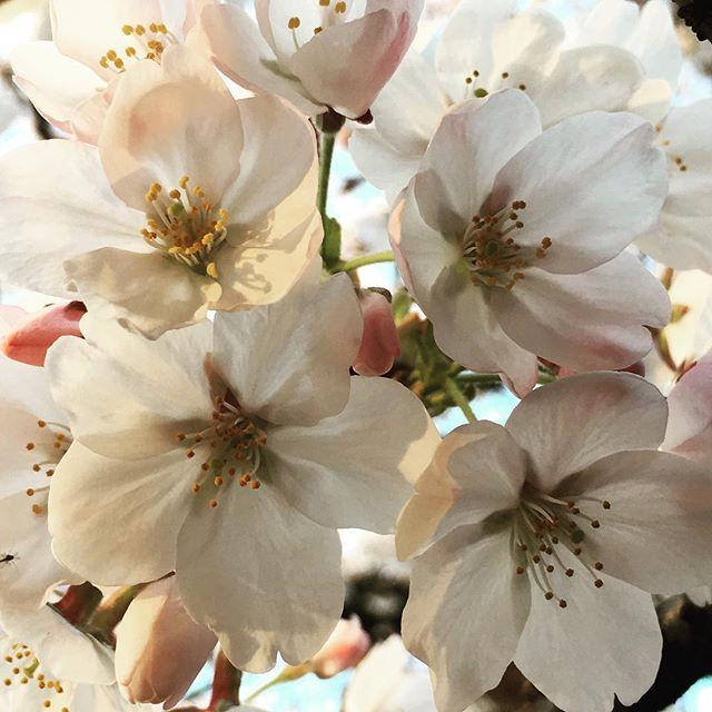 【ぐもにん2710】心浮き立つ浄化の季節。今日も「笑顔の選択」と。#goodmorning #cherryblossom #spring #japan #beautiful #photography #photo #iphonephotography #おはよう