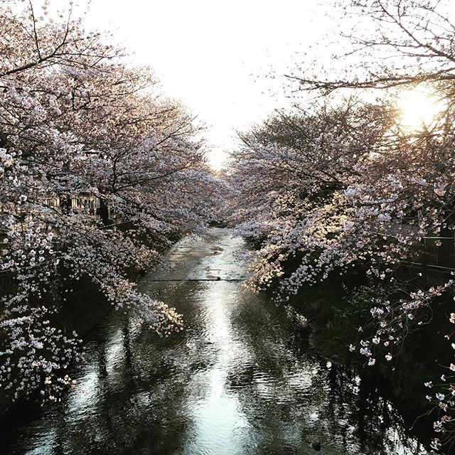 【ぐもにん2711】心の声を聞く時間を持つ。今日も「笑顔の選択」と。#goodmorning #cherryblossom #river #sakura #beautiful #flowers #happy #photography #photo #iphonephotography #おはよう