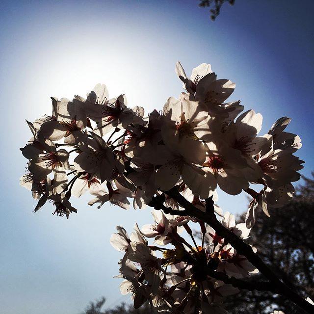 【ぐもにん2716】発する声と心の声を1つに縒りあわせる。今日も「笑顔の選択」と。#goodmorning #cherryblossom #sakura #さくら #bluesky #blue #sky #beautiful #flowers #spring #photography #photo #iphonephotography #おはよう