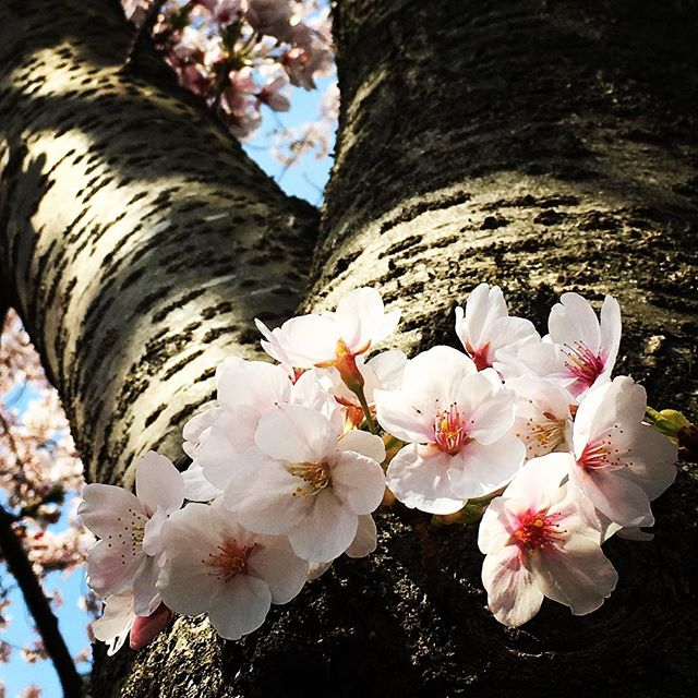 【ぐもにん2718】この道は幸せな未来へ続く道。今日も「笑顔の選択」と。#goodmorning #cherryblossom #beautiful #sakura #flowers #tree #pink #photography #photo #iphonephotography #おはよう